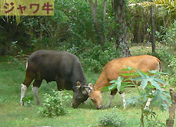 java buffalo