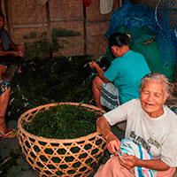 バリ島 海藻作り