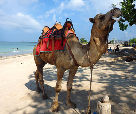 ラクダに乗ってビーチを散歩