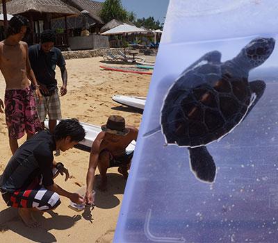 バリ島 厳選レンボンガン島 子ガメの放流 プロジェクト 画像