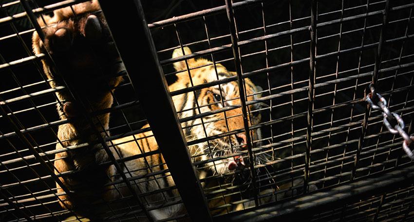 迫力のある夜行性のトラ