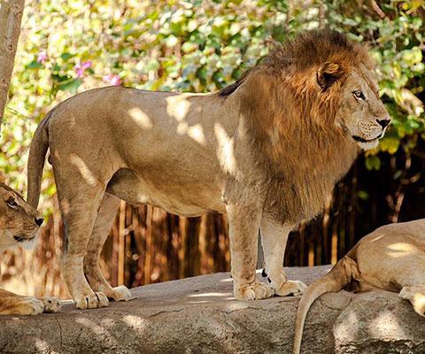 バリ動物園(バリズー) ライオン