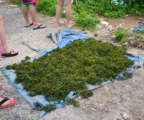 レンボンガン島名産の天草